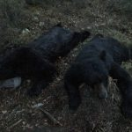 bear-hunting-saskatchewan-crl-2019-01-24
