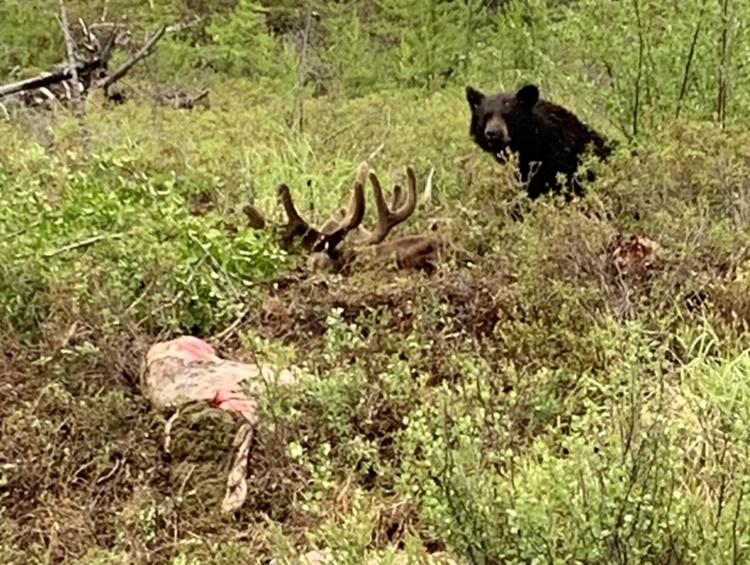 sk-bear-hunting-crl2020-02